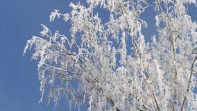 De bevroren Tak van Berkboom behandelde Verse Sneeuw stock footage