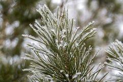 De bevroren takken van de de winterpijnboom Royalty-vrije Stock Afbeeldingen