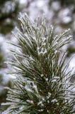 De bevroren takken van de de winterpijnboom Stock Foto's