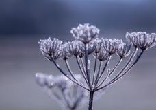 De bevroren Wildflower-Indrukken van de Sneeuw witte winter Stock Afbeelding