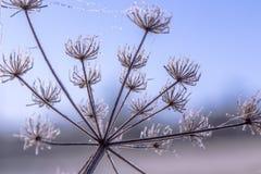 De bevroren Wildflower-Indrukken van de Sneeuw witte winter Stock Foto's