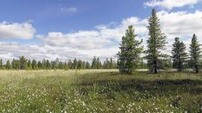 De bewegend wolken van de tijdtijdspanne en katoenen gras op Siberische moerassen stock videobeelden