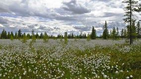 De bewegend wolken van de tijdtijdspanne en katoenen gras op Siberische moerassen stock video
