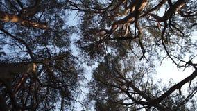 De beweging van de cirkelcamera van grond die hemel met pijnboombomen en duidelijke blauwe hemel onder ogen zien tijdens de Goude stock footage
