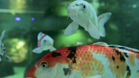 De beweging van de goudvis in het zoetwateraquarium Sluit omhoog stock videobeelden