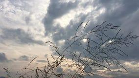 De beweging van de grasbloem over sterke wind onder bewolkte hemel stock video