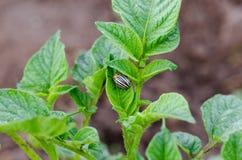 De beweging van het coloradokeverinsect op aardappelplantbladeren stock afbeeldingen
