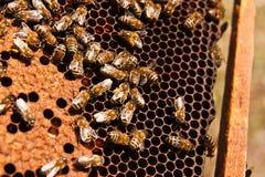 De bezige bijen, sluiten omhoog mening van de het werk bijen op honingraat Stock Fotografie