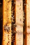 De bezige bijen, sluiten omhoog mening van de het werk bijen op honingraat Stock Afbeelding