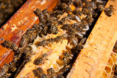 De bezige bijen, sluiten omhoog mening van de het werk bijen op honingraat Stock Afbeeldingen