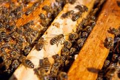 De bezige bijen, sluiten omhoog mening van de het werk bijen op honingraat Royalty-vrije Stock Afbeelding