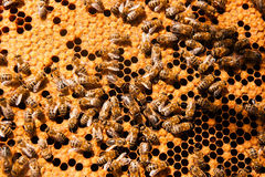 De bezige bijen, sluiten omhoog mening van de het werk bijen op honingraat Royalty-vrije Stock Foto