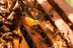 De bezige bijen, sluiten omhoog mening van de het werk bijen op honingraat Stock Foto