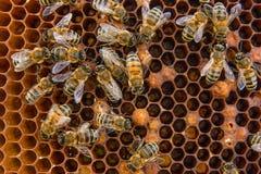 De bezige bijen, sluiten omhoog mening van de het werk bijen op honingraat Royalty-vrije Stock Foto's