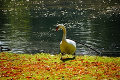 de bezinning van de de zwaanaard van het de herfstmeer Stock Fotografie