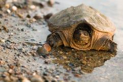 De bezinning van de schildpad Stock Foto