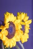 De bezinning van de zonnebloem royalty-vrije stock afbeeldingen