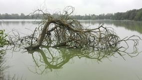 De bezinning van de dode boom over water royalty-vrije stock afbeelding