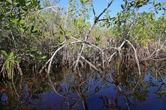 De Bezinning van de mangrovecirkel Royalty-vrije Stock Afbeelding