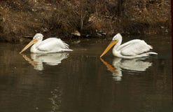 De bezinningen van de pelikaan Stock Afbeeldingen