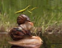 De bidsprinkhaan die op slakken berijden en wijst op de richting stock foto