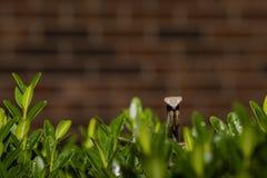De bidsprinkhaan stelt boven op Struik stock afbeelding