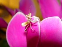 De Bidsprinkhanen van de orchidee Royalty-vrije Stock Afbeelding