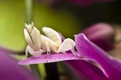 De bidsprinkhanen van de orchidee royalty-vrije stock fotografie