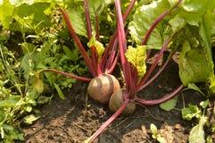 De bieten groeien in de grond op een moestuin op een Zonnige dag Stock Foto