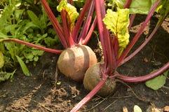 De bieten groeien in de grond op een moestuin op een Zonnige dag Stock Afbeelding