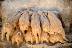 De biggetjes zuigen melk van een varken Stock Fotografie