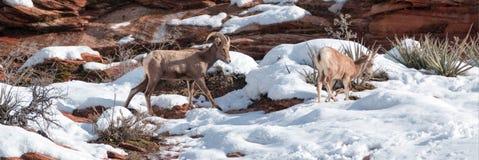 De Bighornschapen stampen en canadensis van ooiovis op zonnige de winterdag in Zion National Park in Utah de V.S. aan royalty-vrije stock afbeeldingen