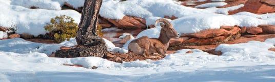 De Bighornschapen stampen oviscanadensis aan bepalend op zonnige de winterdag in Zion National Park in Utah de V.S. royalty-vrije stock foto's