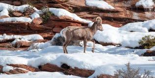 De Bighornschapen stampen oviscanadensis aan lopend op zonnige de winterdag in Zion National Park in Utah de V.S. royalty-vrije stock foto's