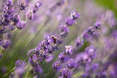 De bij bestuift lavendel Royalty-vrije Stock Fotografie