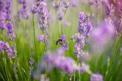 De bij bestuift lavendel Stock Foto's