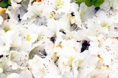 De bij bestuift witte bloemen in Isabella Plantation Stock Afbeelding