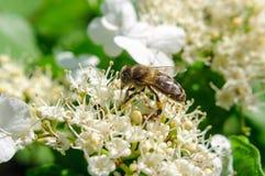 De bij bestuift witte bloemviburnum, selectieve nadruk stock afbeelding