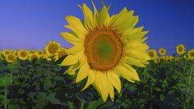 De bij bestuift zonnebloembloem het groeien op een gebied op een achtergrond van blauwe hemel stock video