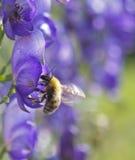 De bij die nectar op een blauwe bloem verzamelt. Royalty-vrije Stock Afbeeldingen