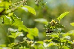 De bij die stuifmeel verzamelen een framboos bloeit Inzameling van honing en bestuiving van installaties Stock Afbeelding
