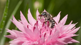 De bij die van Anthophoraurbana een roze Korenbloem in de lente bestuiven Stock Fotografie