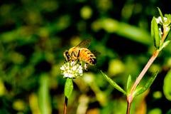De Bij die van Apismellifera nectar verzamelen Royalty-vrije Stock Afbeeldingen