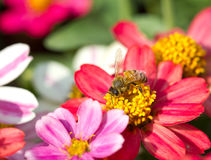 De bij die van de honing aan bloem werkt Royalty-vrije Stock Afbeeldingen