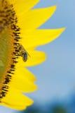 De bij die van de honing de zonnebloem bestuift Stock Foto