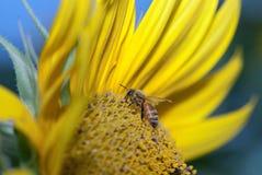 De bij die van de honing de zonnebloem bestuift Stock Foto's