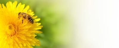 De bij die van de honing nectar van paardebloembloem verzamelt. royalty-vrije stock afbeelding