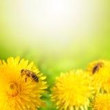 De bij die van de honing nectar van paardebloembloem verzamelt. stock foto's