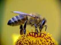 De bij die van de honing stuifmeel verzamelt stock foto