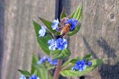 De bij die van de honing stuifmeel verzamelt Stock Afbeeldingen